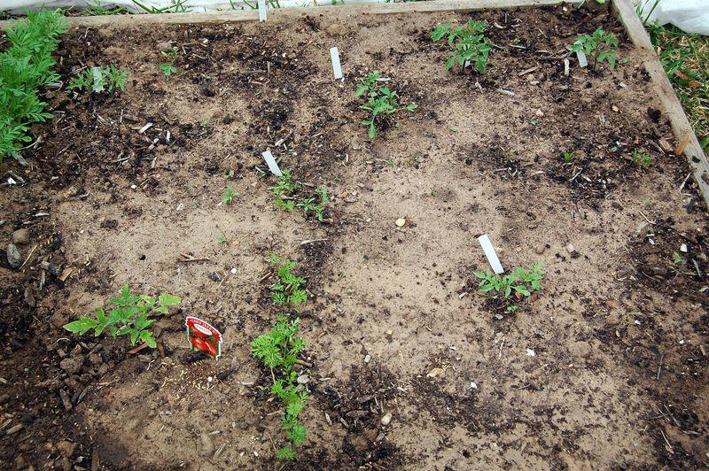 Garden_Tomatoes_041509