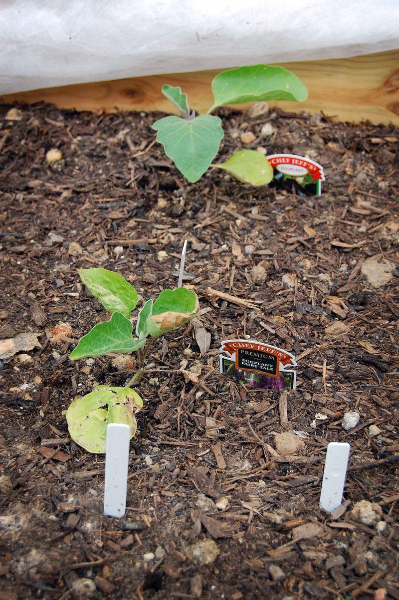 Garden_Eggplant_041509