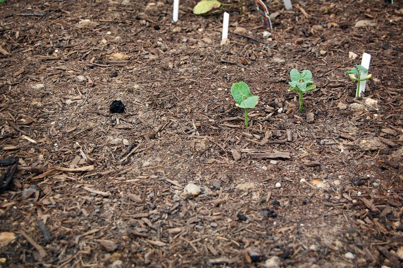 Garden_BeansGreen_041509
