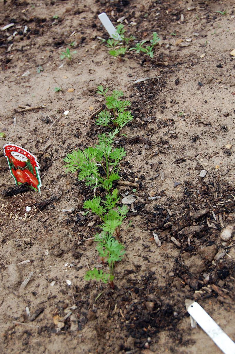 Garden_Carrots_041509