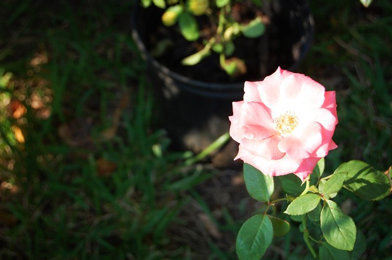 September_rose_090109