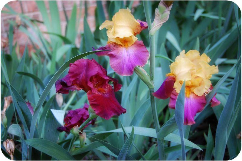Irisblog_061011