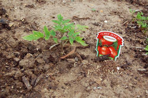 Garden_RomaTomato_041509